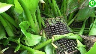 Bẫy chuột cống nhum trên lục bình DÍNH TOÀN CHUỘT KHỦNG /  Mouse  VIETNAM
