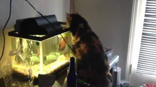 Рыба укусила кошку.mp4