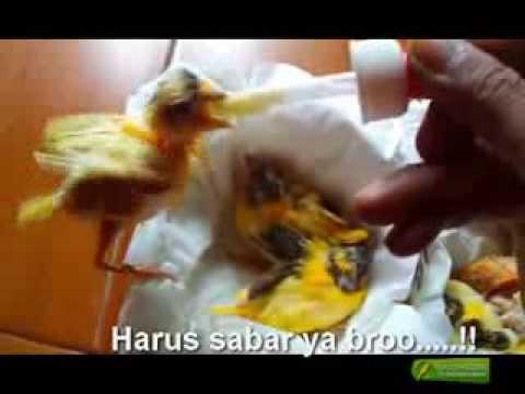 Meloloh Piyik Kenari Dengan Sistim Hand Feeding By Endoet Kopler