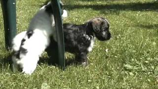 Lowchen Puppies at 6weeks old