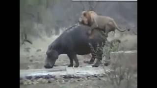 страшные нападение диких животных. Страшные сцены. Шокирующие видео Игра животных лев на гипопатаме