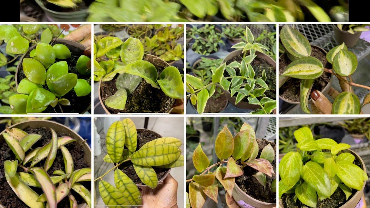 Download Plant shopping @ Vandermeer Nursery (Hoya, Hoya and more Hoya)