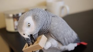 Episode 1:  Prevent Screaming & Plucking in Pet Parrots