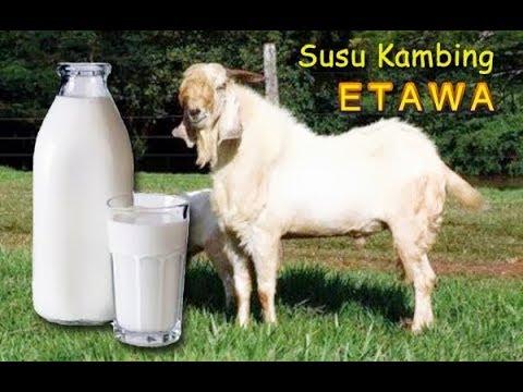 bolehkah-ibu-hamil-minum-susu-kambing-etawa???