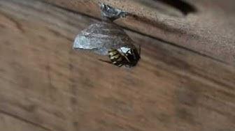 ampiaisen pesänrakennusta