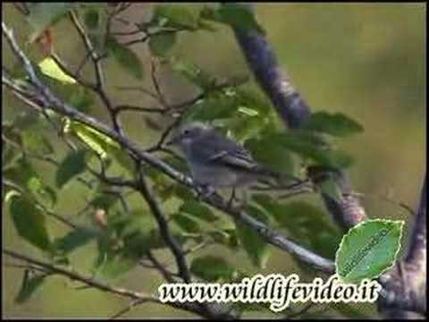 Pigliamosche - Muscicapa striata - Spotted Flycatcher