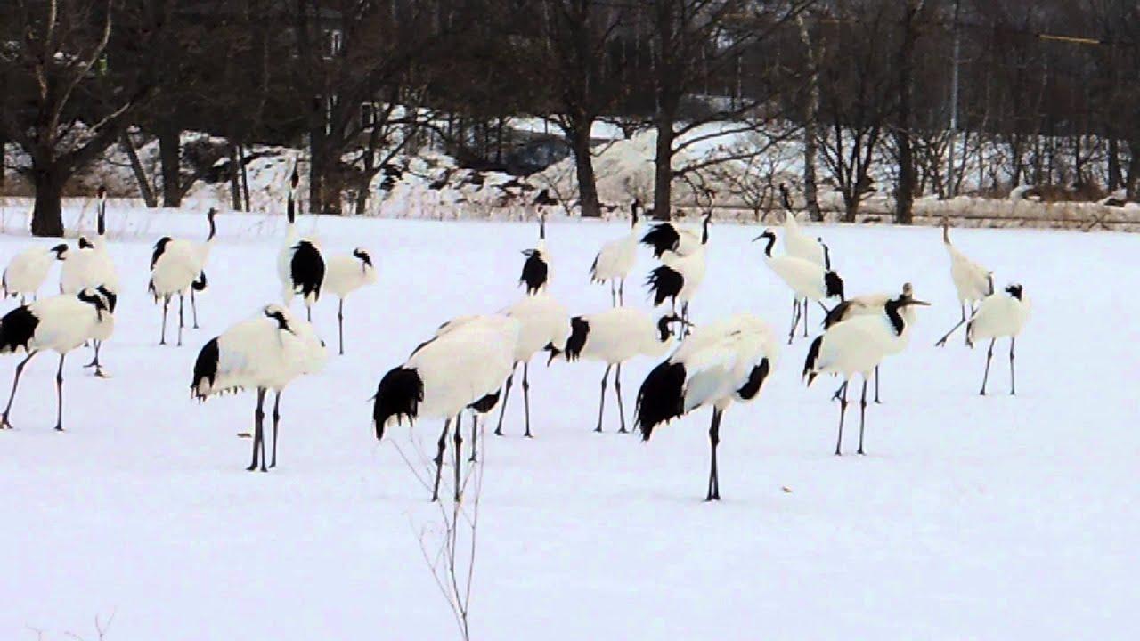 「丹頂鶴自然公園」的圖片搜尋結果
