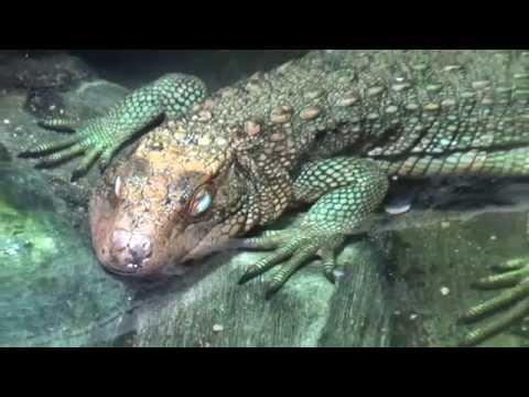 Caiman Lizard (Dracaena guianensis) Prague Zoo |  לטאת קיימן
