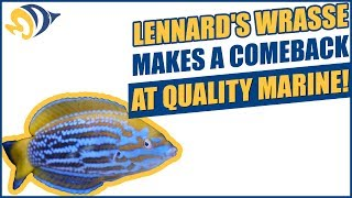 Lennard's Wrasse (Anampses lennardi) Makes a Comeback at Quality Marine!