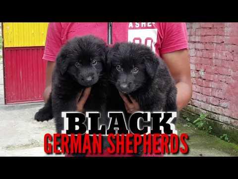 Black German Shepherds Double Coat Straight Back Puppies. Black GSD Pups.