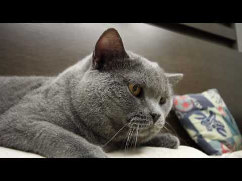 Our Lovely Son - Pig B, A British Shorthair Cat - 2nd Video 2010 By Canon EOS 7D
