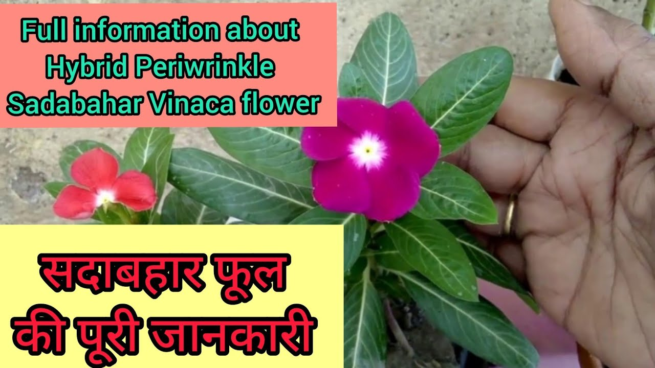 Full Information About Hybrid Variety Of Flower Periwinkle