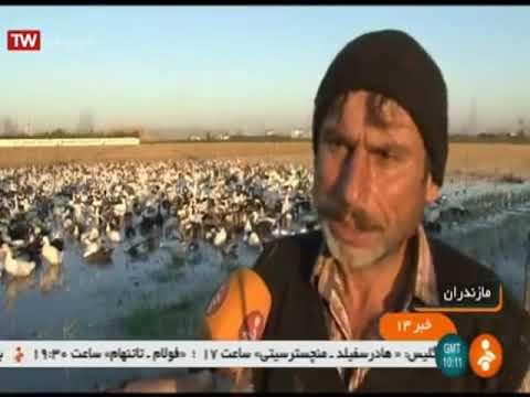 Iran Duck farming in rice fields, Amol county پرورش اردك در شاليزار برنج شهرستان آمل ايران