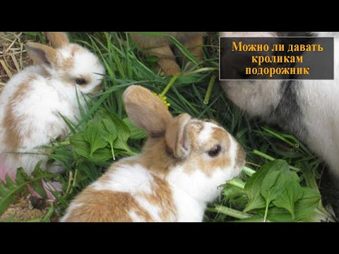 Можно ли давать кроликам подорожник