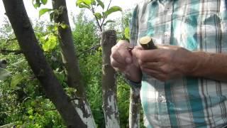 2. Skuteczne szczepienie jabłoni