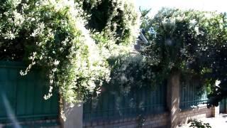 видео Калистегия: особенности выращивания цветущей лианы и ухода за ней