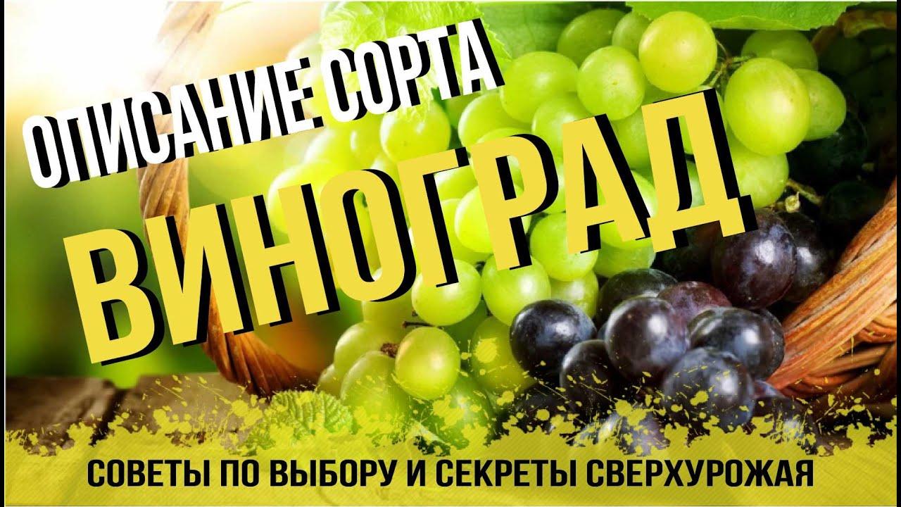 Виноград! Какой сорт самый вкусный? Советы, описание, фото ...