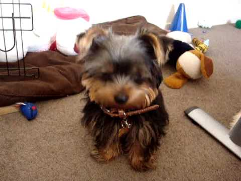 Yorkie Puppy Learning Tricks 5 Months Cute Youtube