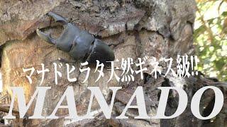原生林採集マナド。マナドヒラタを求めてインドネシア・スラウェシマナ...