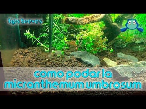 Como podar la Micranthemum umbrosum   Tips breves