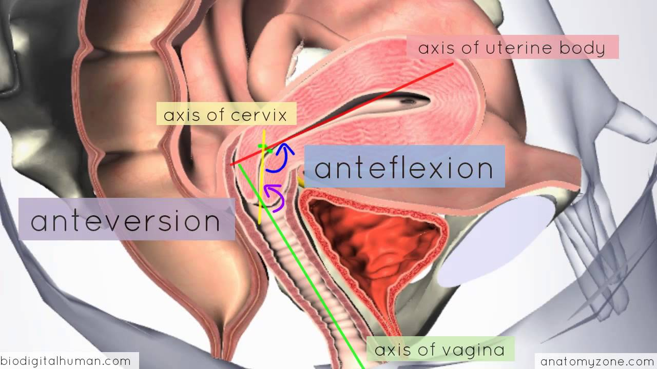introduction to female reproductive anatomy part 3 3d anatomy tutorial youtube [ 1280 x 720 Pixel ]