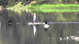 Cuervos de Mar o Cormoranes? by trucha1618xx