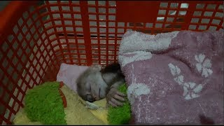 Baby Monkey Doo Goes To Bed Very Cute - Funny Animals