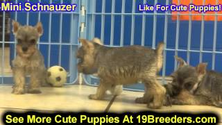 Mini Schnauzer, Puppies, For, Sale, In, South Bend, Indiana, County, IN, Allen, Hamilton, St  Joseph