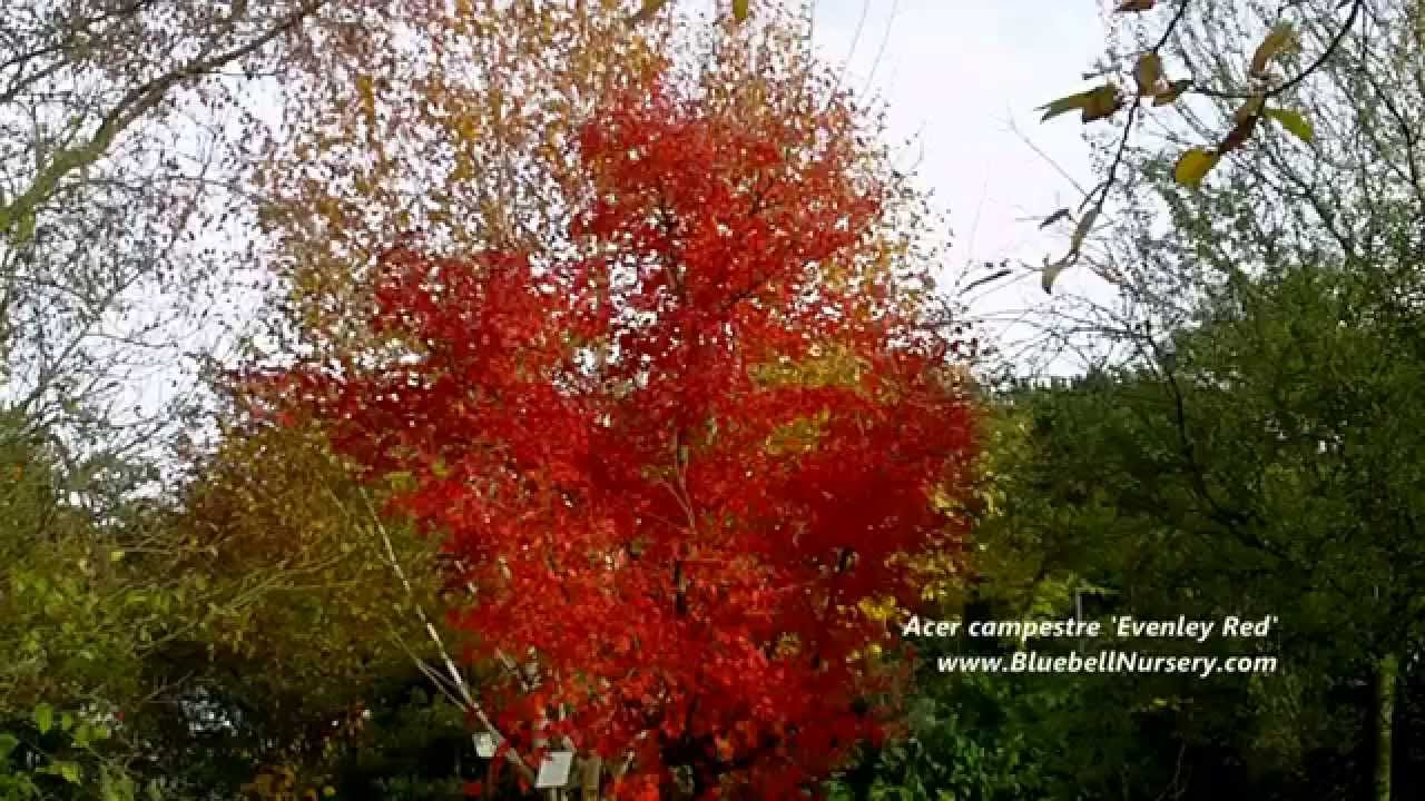 Acer Campestre Evenley Red Field Maple Youtube