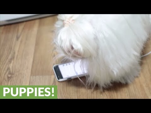 Maltese attacks phone whenever cat appears on it