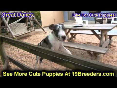 Great Dane, Puppies, For, Sale, In, Allegheny, Pennsylvania, PA, Bucks, Chester, County, Berks, Dela