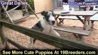 Great Dane, Puppies, For, Sale, In, Allegheny, Pennsylvania, PA, Bucks, Chester, County, Berks, Dela