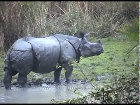 Great one-horned Rhinoceros - the largest of Rhino species