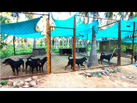 our young Rottweilers | Our Kennel | Rottweiler | coming soon