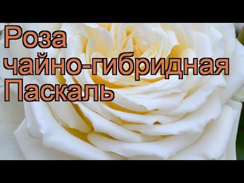 Роза чайно-гибридная Паскаль (rose Pascal) 🌿 роза Паскаль обзор: как сажать саженцы розы Паскаль