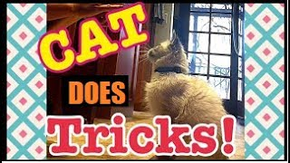 Baby kitten does dog tricks! Cute Balinese cat, 4 month old does dog tricks. Hypoallergenic cats