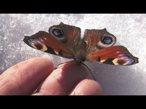 Бабочка проснулась раньше срока Butterfly woke up too early Насекомые Бабочки