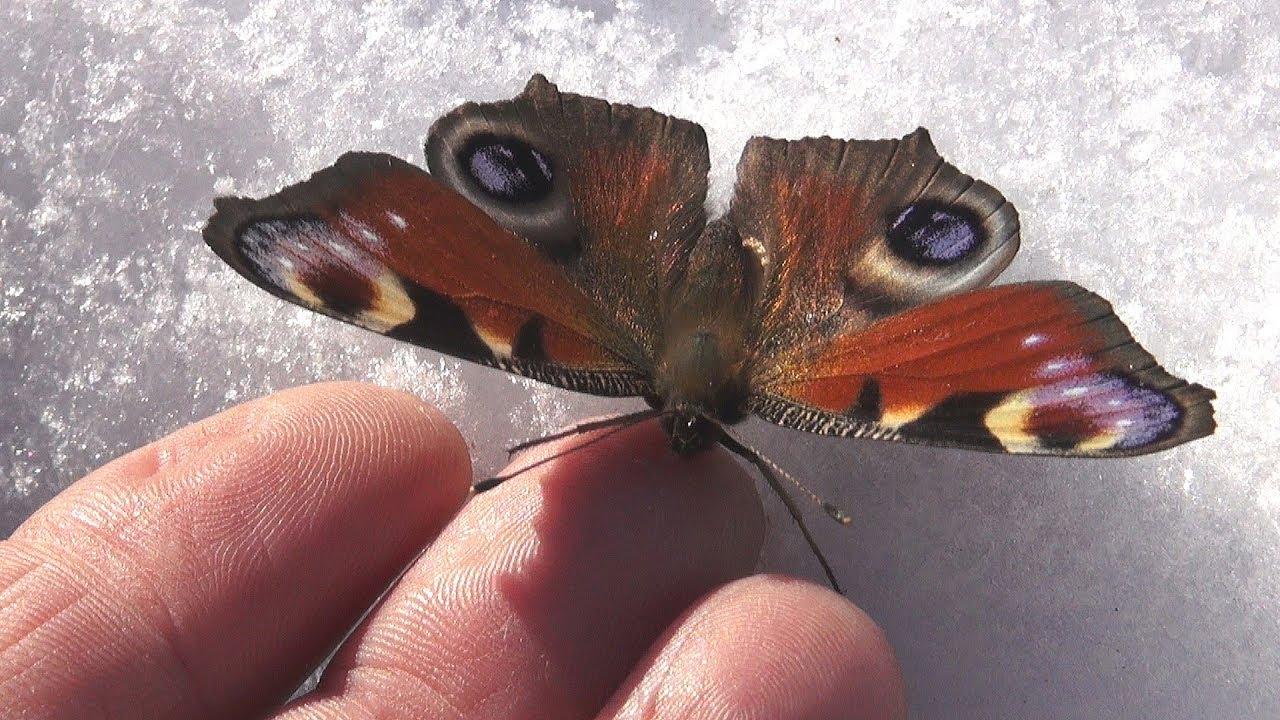 Бабочка проснулась раньше срока Butterfly woke up ahead of time!