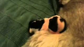 Shih Tzu Puppies Being Born Very Cute