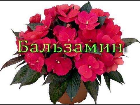 Цветы комнатные бальзамин фото