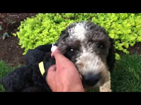 PuppyFinder.com : Mini Poodles