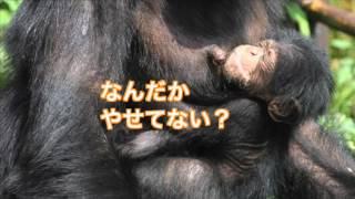 日本モンキーセンター チンパンジーのマモル ~だいじょうぶ編