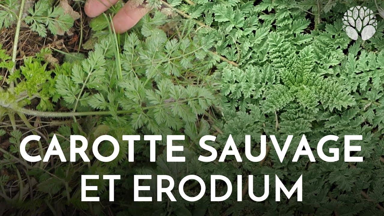 Carotte sauvage et erodium