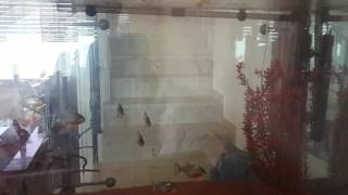 Piranha eating live chick!!!