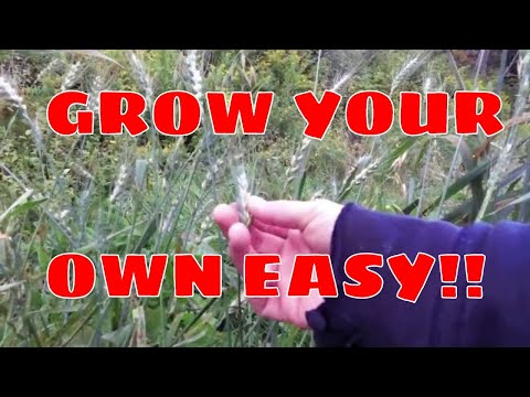 How To: EASY WAY | Growing Your Own Chicken Feed