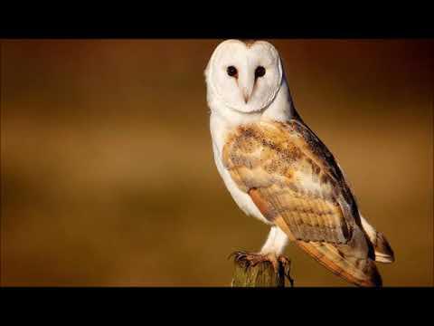 Uccelli - Barbagianni - Canto degli Uccelli