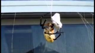 Garden spider wraps giant wasp in web