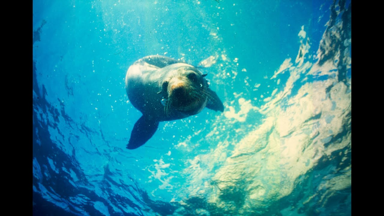 Swim with Seals in Kaikoura - Things to do in Kaikoura swim with New Swimming Seal on seal clip art, seal in the sea, seal animals, seal on land,