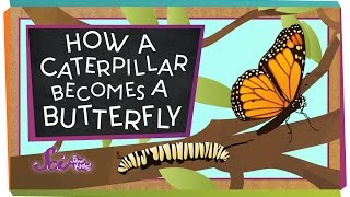 How A Caterpillar Becomes A Butterfly