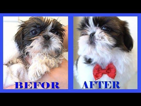 HOW TO GET BIG VOLUMIZED HAIR | SHIH TZU PUPPY | TOO CUTE